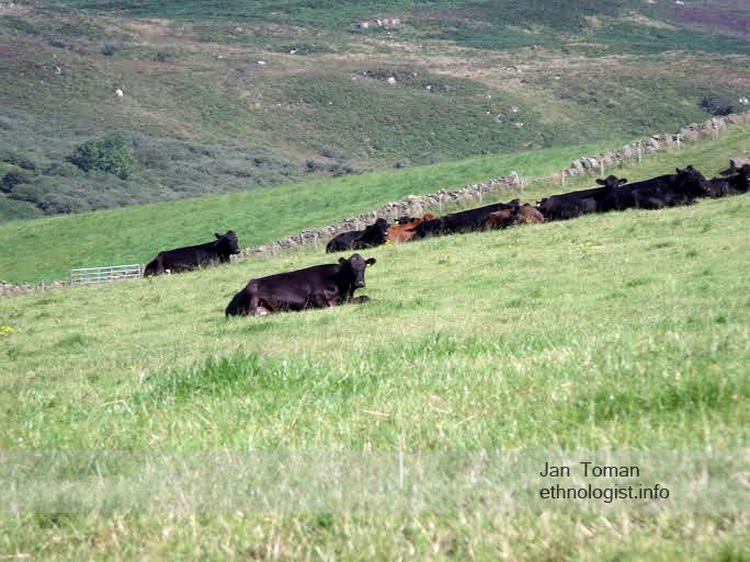 The resting cows in meadow of Campbeltown. Photo: Jan Toman