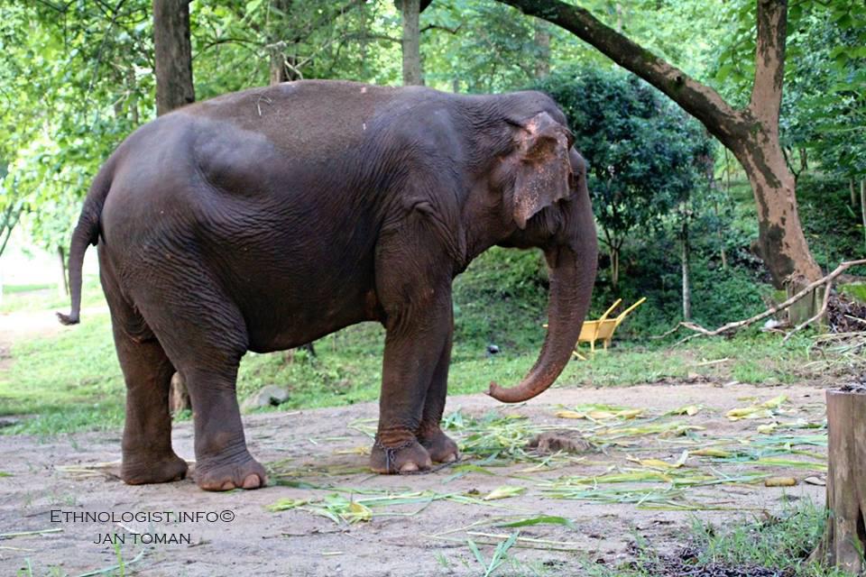 Slon žijící v zajetí v Thajsku. Foto: Jan Toman