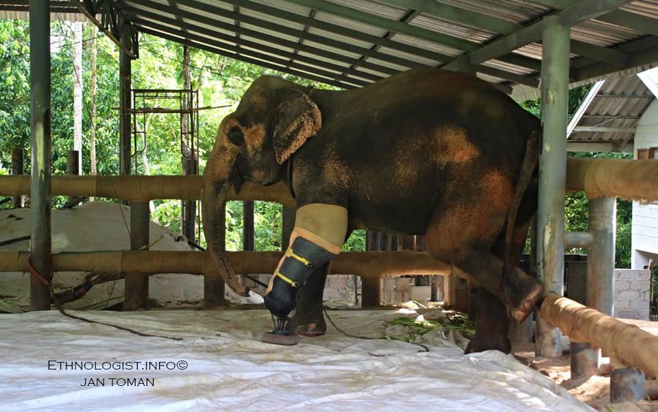 Slonice s protézou ve Sloní nemocnici v Thajsku. Foto: Jan Toman