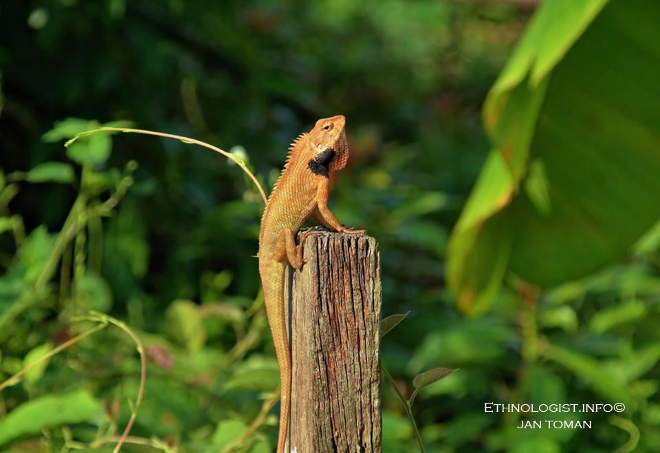 Chameleon na ekologické farmě v Malajsii. Foto: Jan Toman